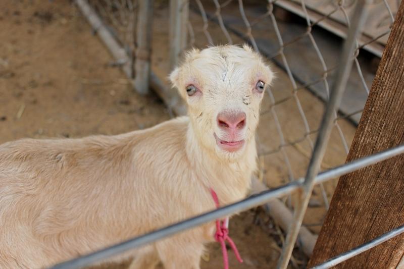 Maui activities Kahana Beach Resort milk a goat