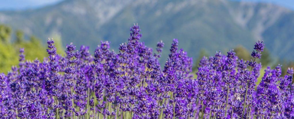 Maui activities Kahana Beach Resort smell the lavender